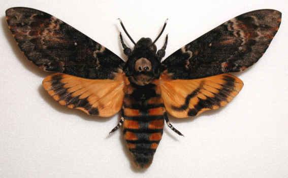 Ecole de veyras le sphinx t te de mort - Que mange les papillons de nuit ...